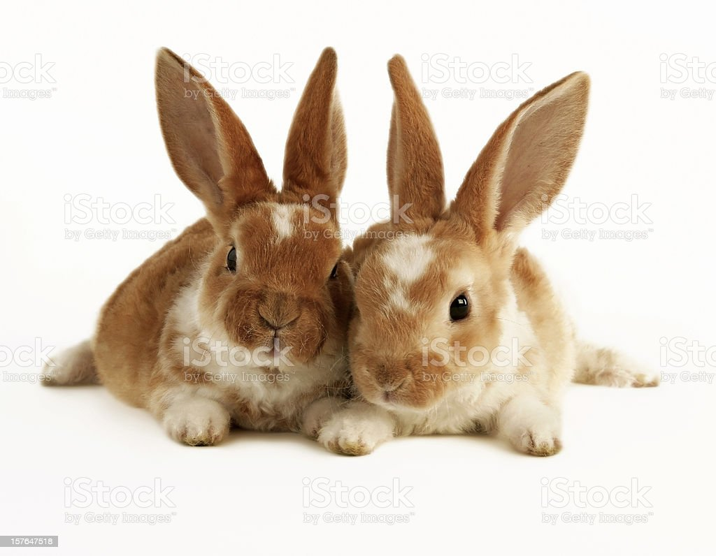 Two brown and white baby rabbits stock photo