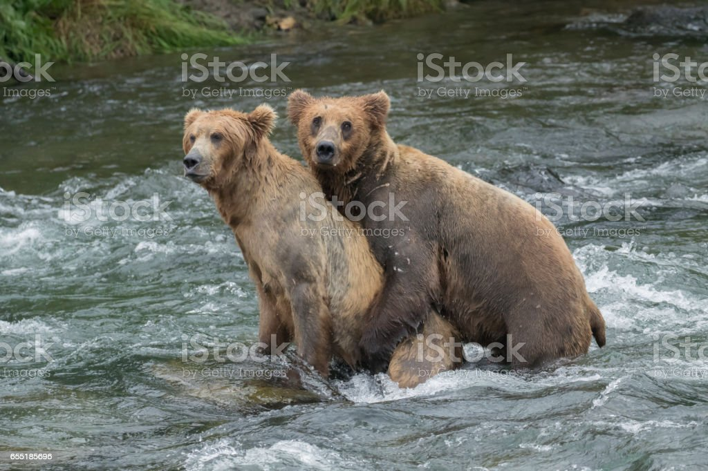 Two Brown Bear Mating in River stock photo