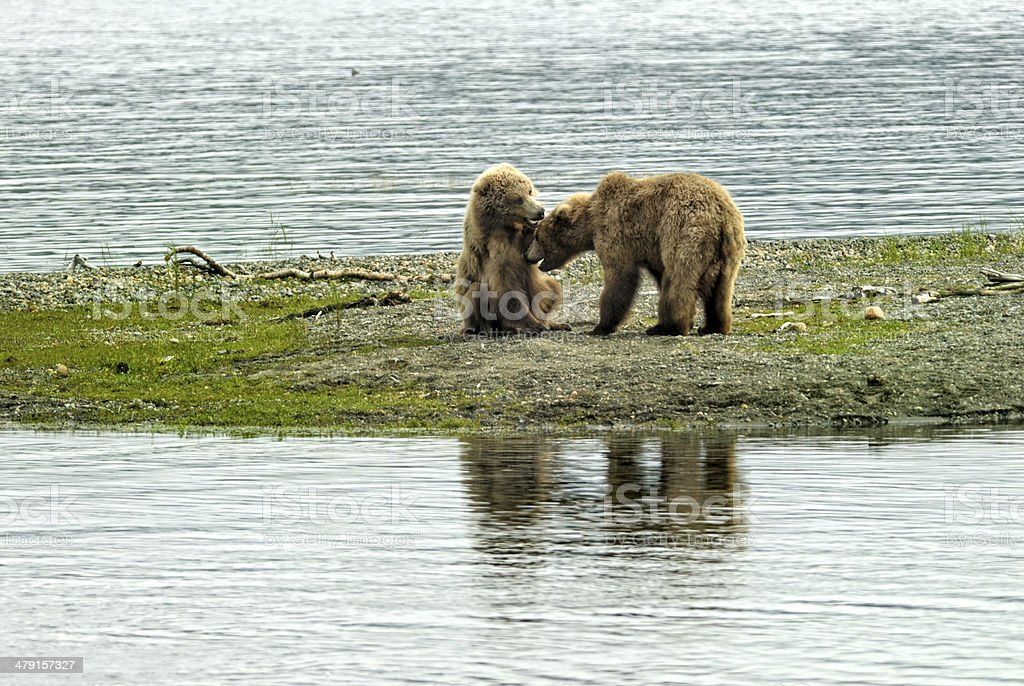Two brown bears cubs playing stock photo