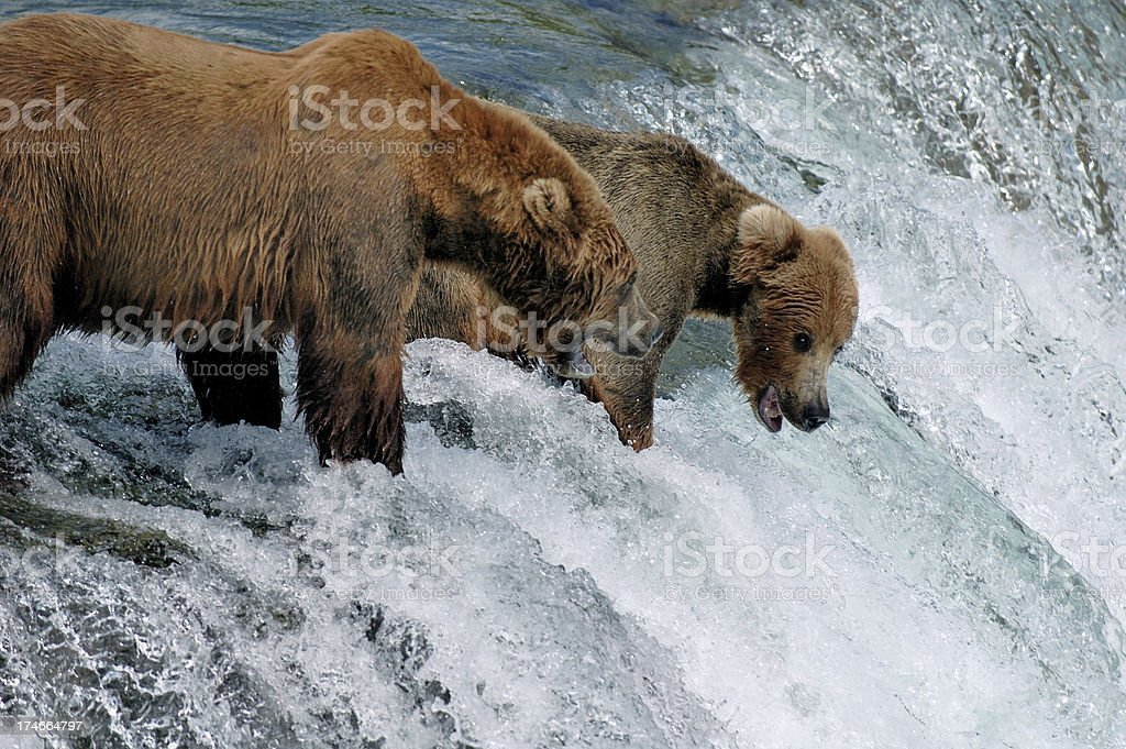 Two  brown bears fishing for salmon by a  waterfall stock photo