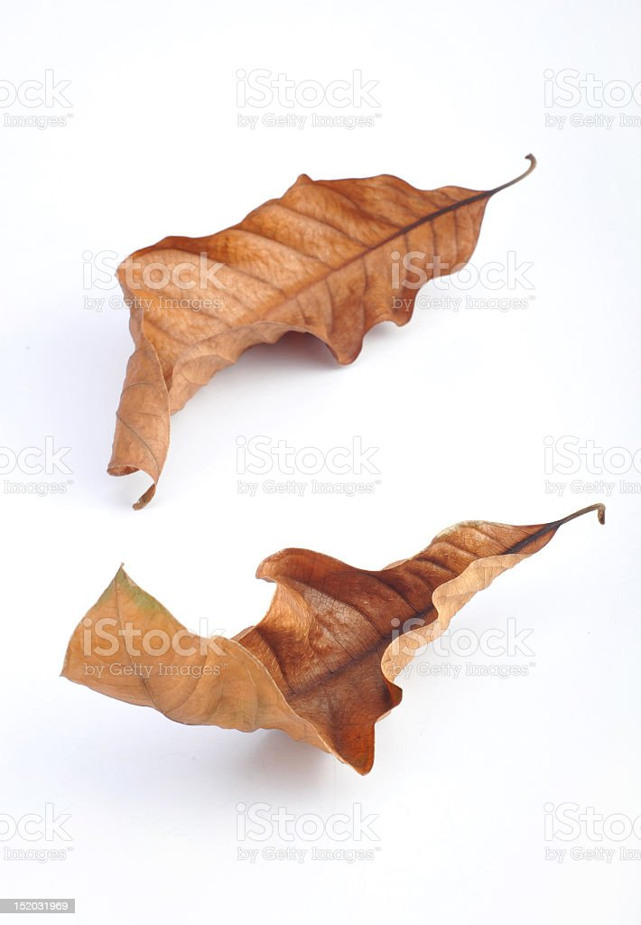 Two brown, dried leaves on a white background stock photo