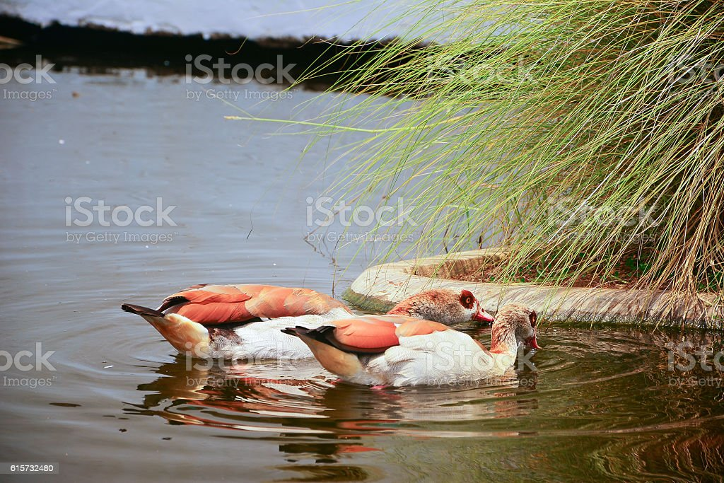 Two brown ducks, Drake Mallard floating on the water stock photo