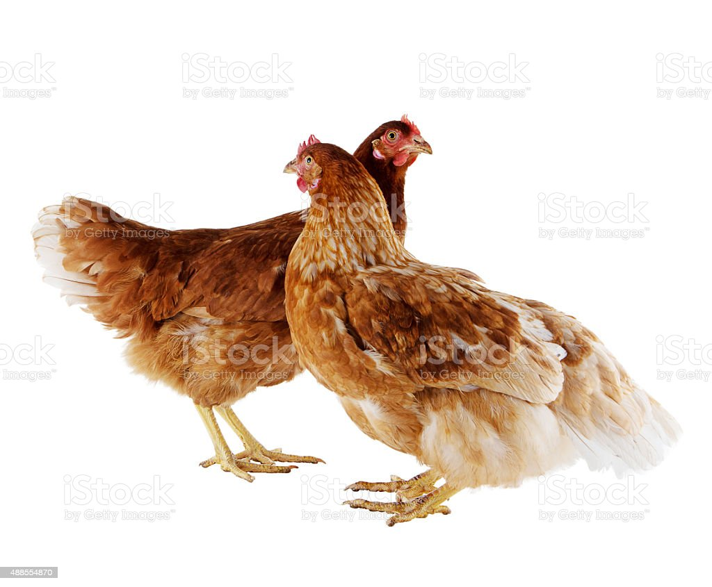 Two brown hen stock photo