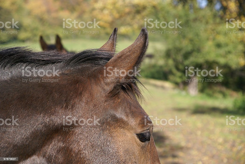 Two brown horses listening stock photo