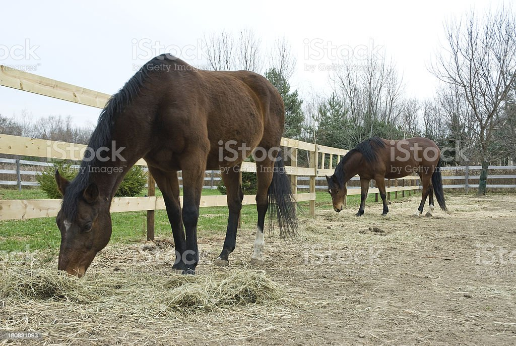 Two brown horses on a farm royalty-free stock photo
