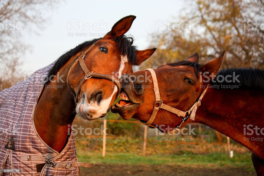 Two brown horses playing together stock photo