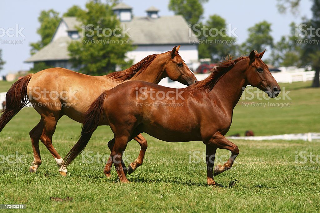 Two brown horses running through a pasture stock photo
