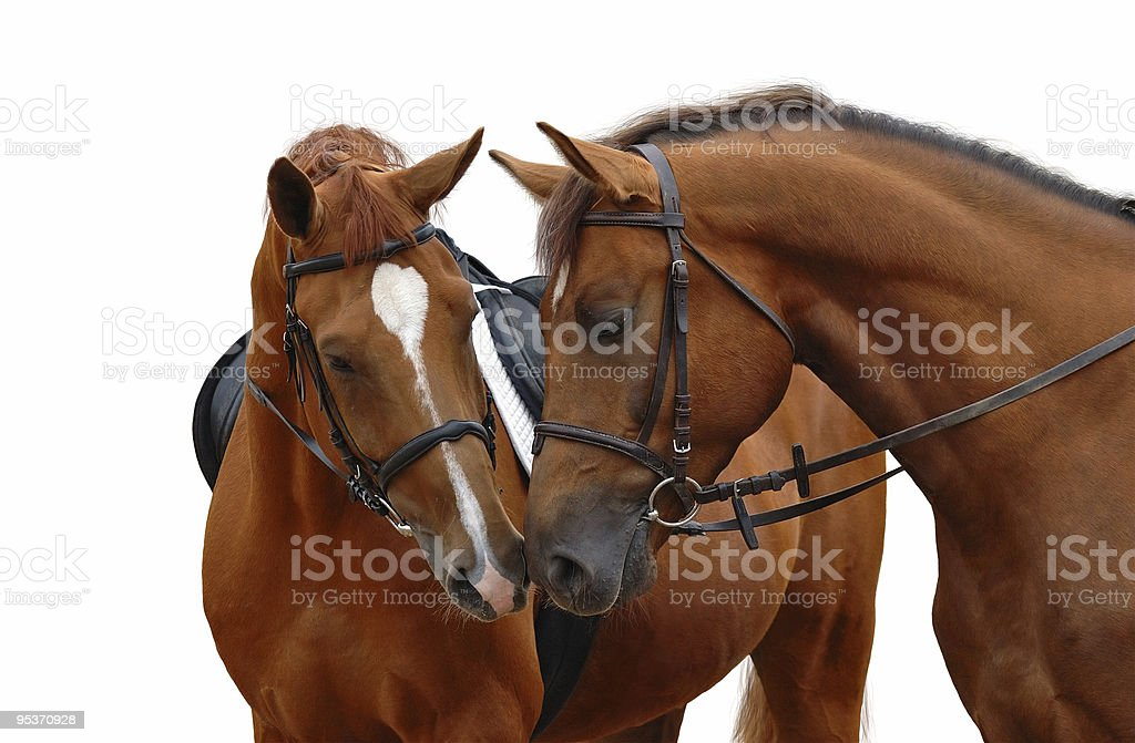 Two brown horses with their heads bent toward each other royalty-free stock photo