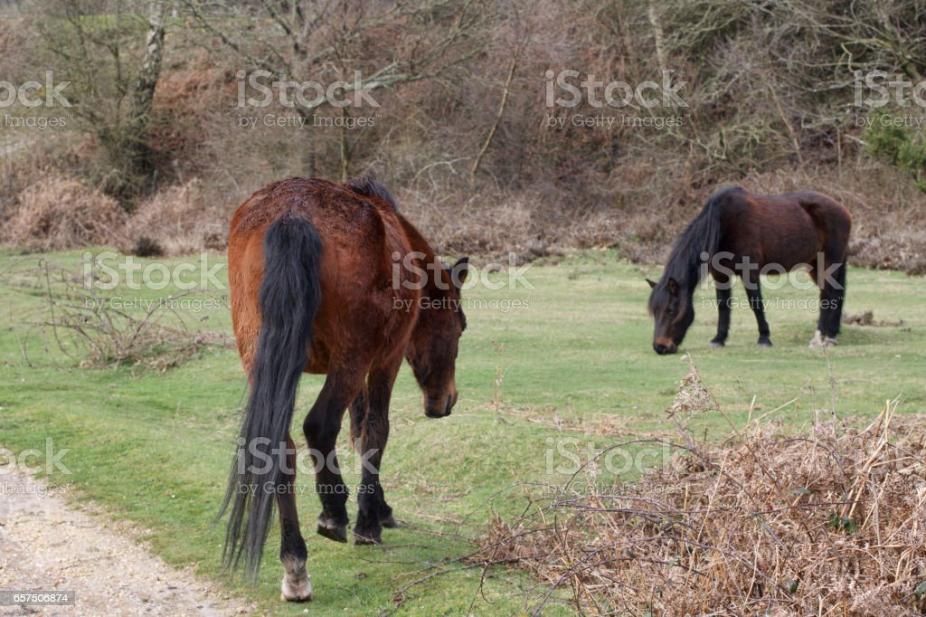 Two brown New Forest ponies on grassland stock photo