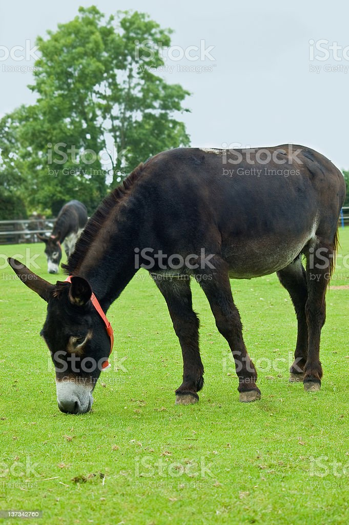 two brown Rescue Donkeys stock photo