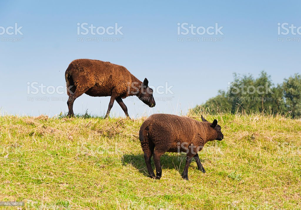 Two brown sheep with a thick and warm coat stock photo