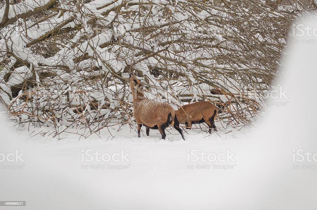 Dwa Brązowe sheeps zbiór zdjęć royalty-free