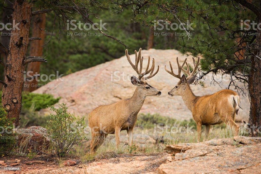 Two buck mule deer with velvet antlers. royalty-free stock photo
