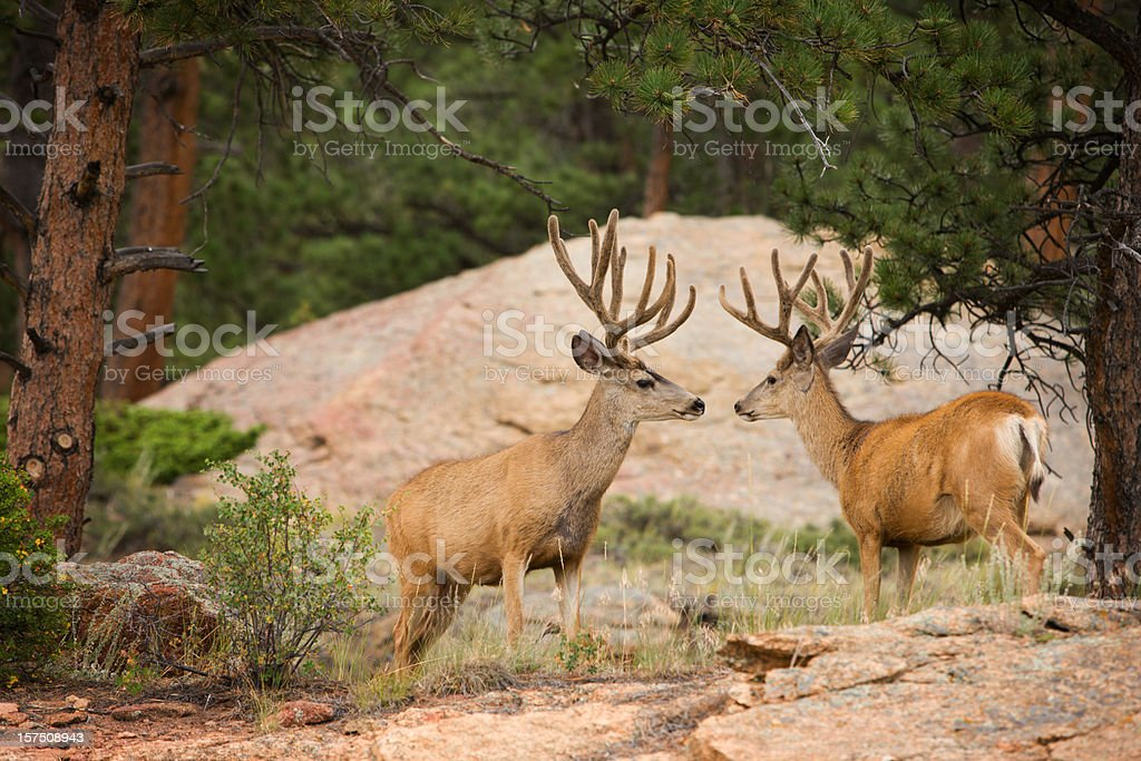 Two buck mule deer with velvet antlers. stock photo