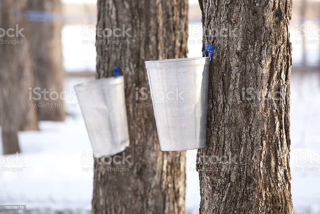 two bucket of maple water royalty-free stock photo