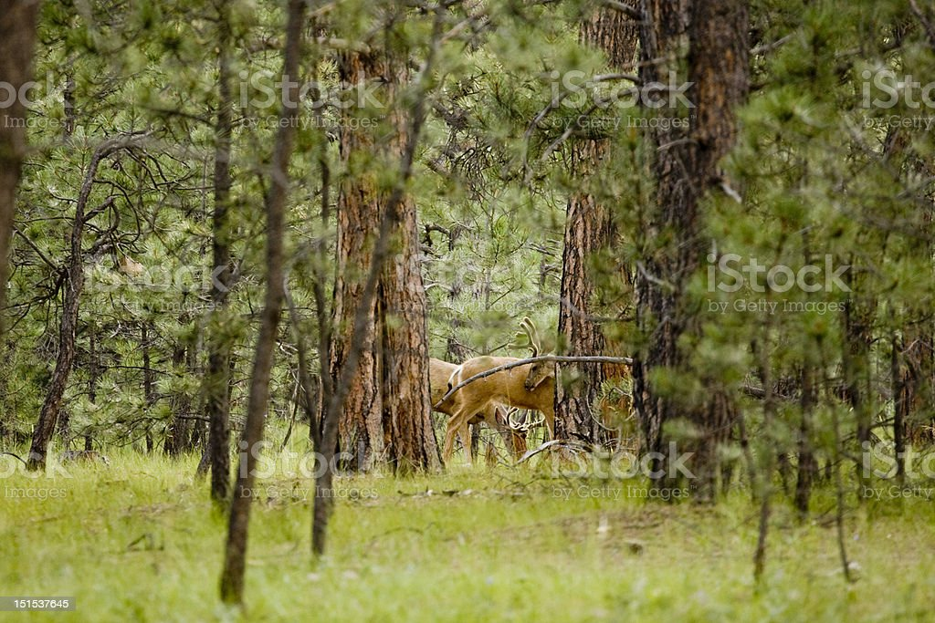 Two Bucks stock photo