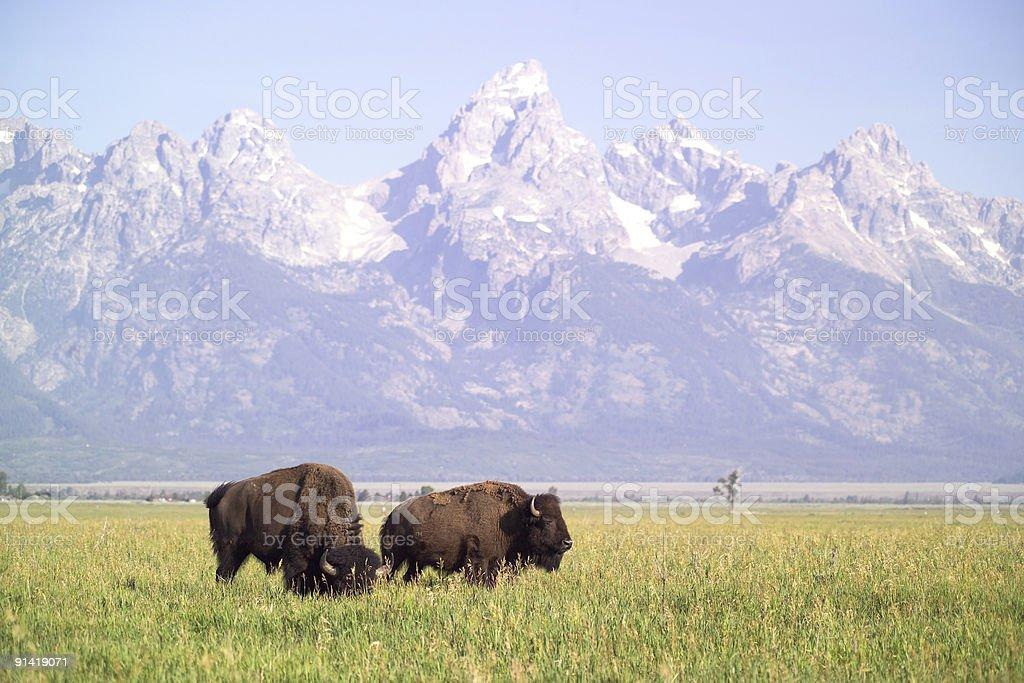 Two Buffalo royalty-free stock photo