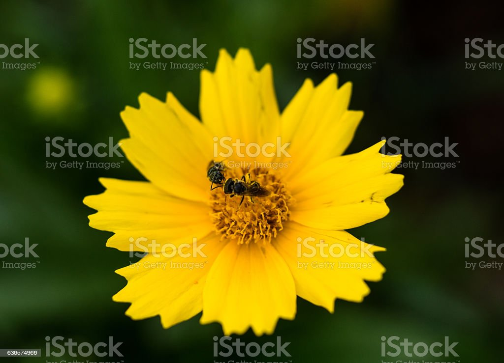 Two bugs on a yellow flower stock photo