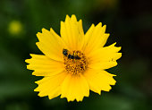 Two bugs on a yellow flower