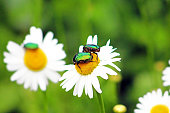 Two bugs (Cetonia aurata) on chamomile in the garden