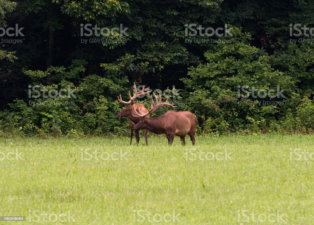 Two Bull Elk in Late Evening Light stock photo
