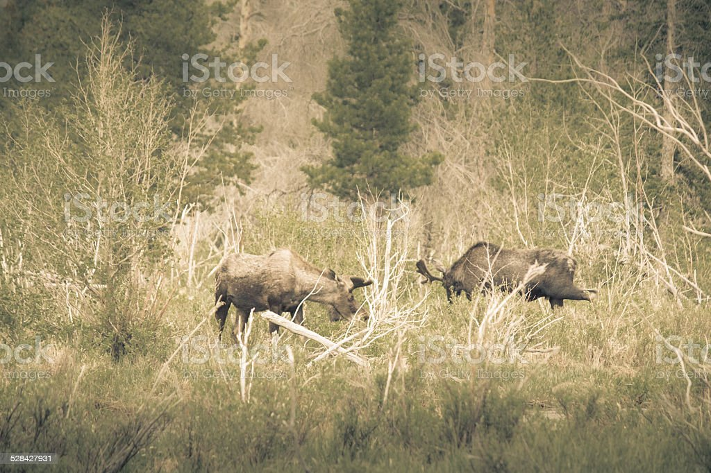 Two Bull Moose Grazing royalty-free stock photo