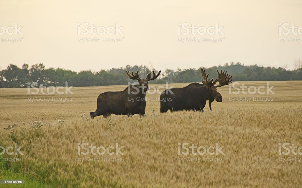 Two bull moose in a barely field in autumn stock photo