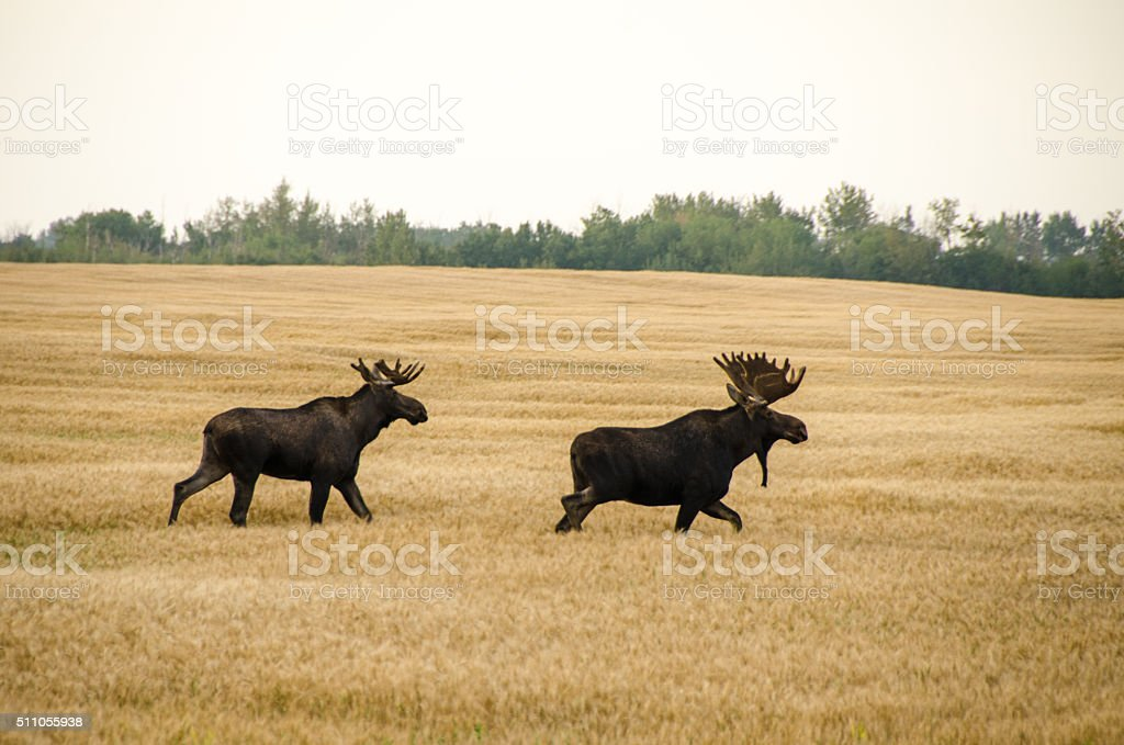 Two bull moose in a barely field in the autumn stock photo
