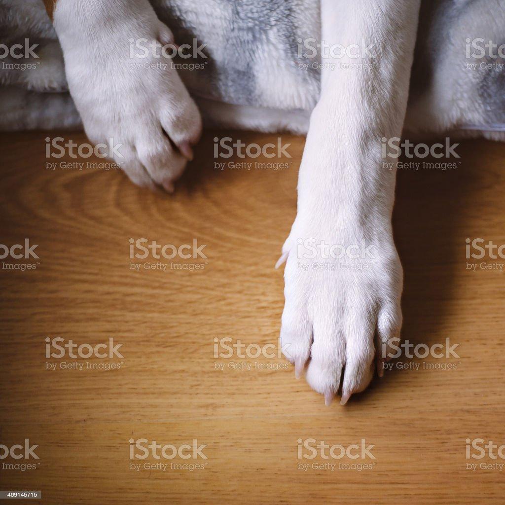Two bull terrier legs stock photo