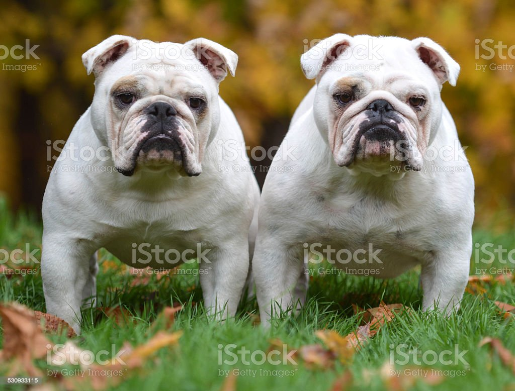 two bulldogs stock photo