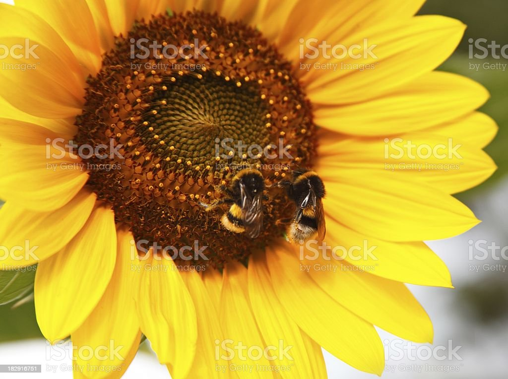 Two bumble bees on a sunflower. stock photo