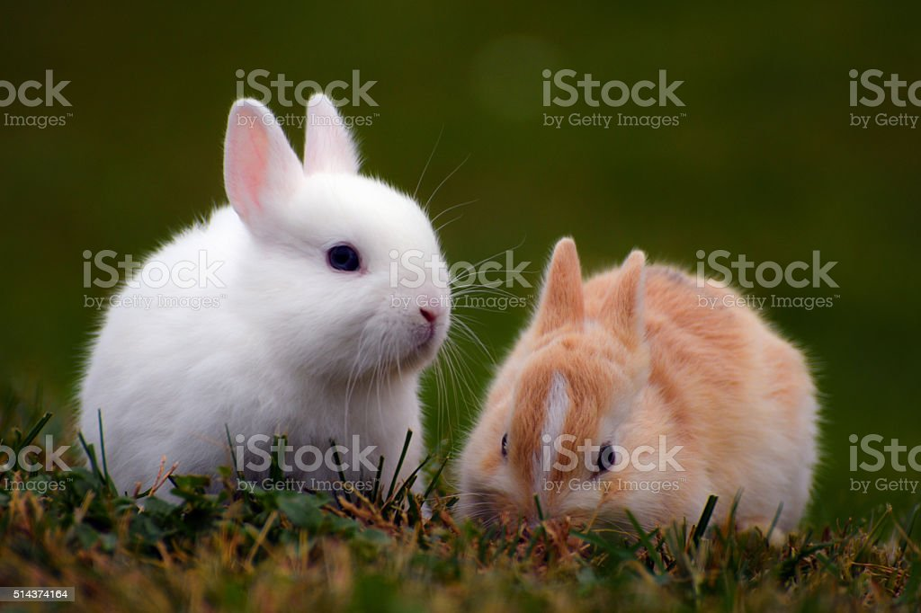 two bunnies in the grass stock photo