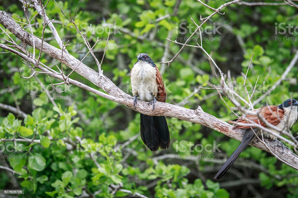 Two Burchell's coucals sitting on a branch. stock photo