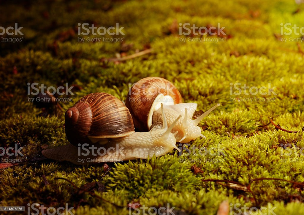 Two Burgundy snails (Helix pomatia) on the moss under bright stock photo