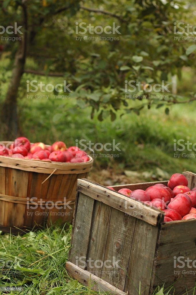 Two bushels of apples sitting on grass in apple orchard royalty-free stock photo
