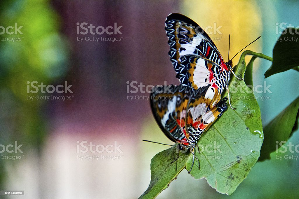 Two Butterflies - An intimate moment royalty-free stock photo