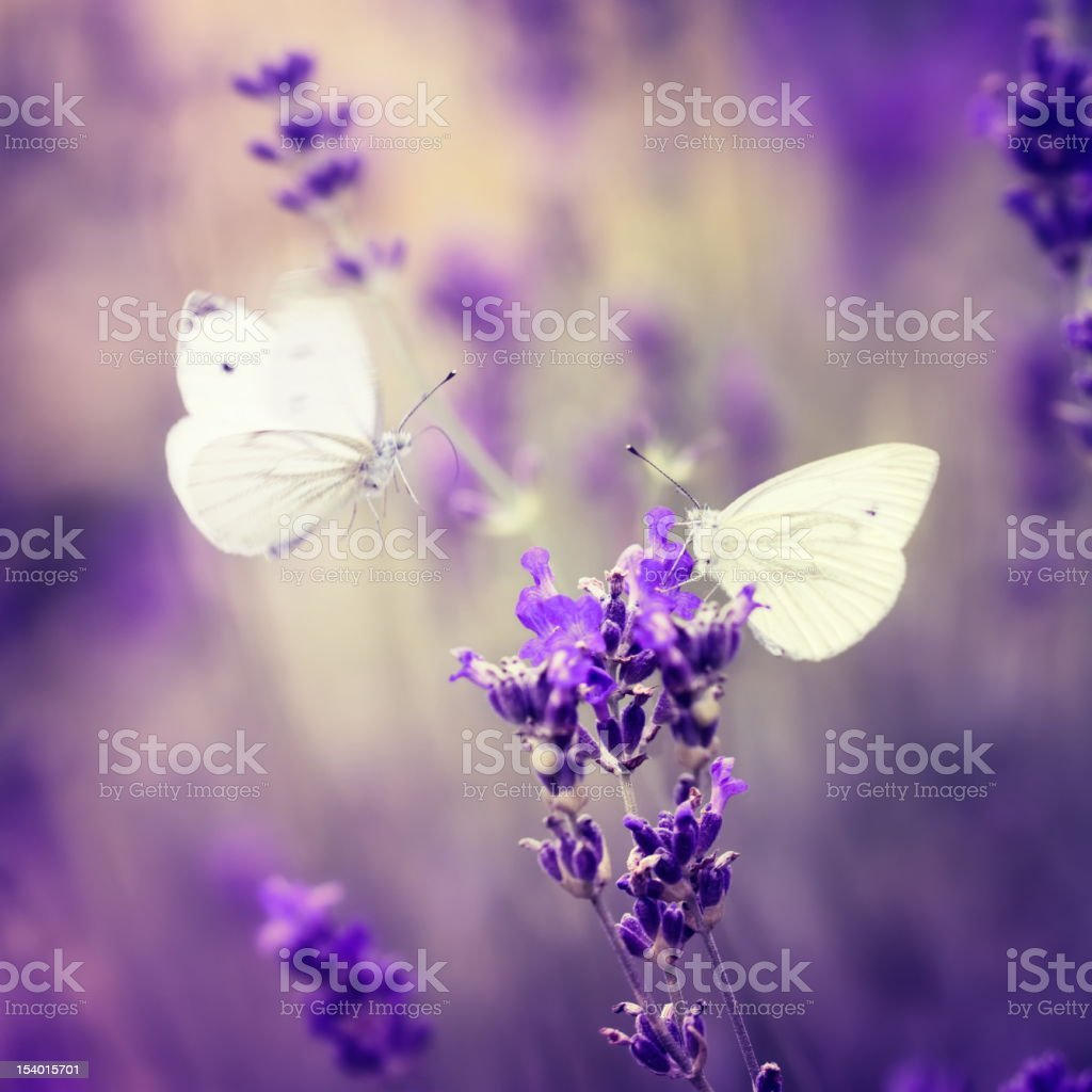 Two butterflies checking out a lavender  royalty-free stock photo