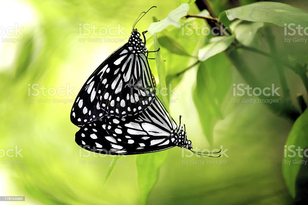 Two Butterflies Mating royalty-free stock photo