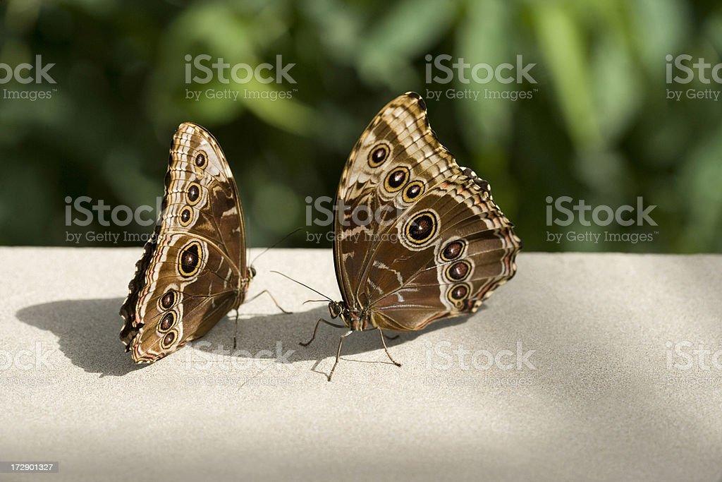 Two butterflies Morpho Heleonor stock photo