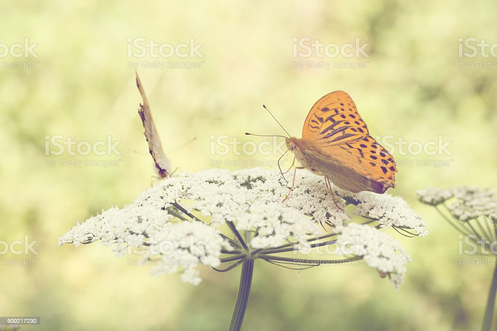 Two Butterflies On A Wildflower stock photo