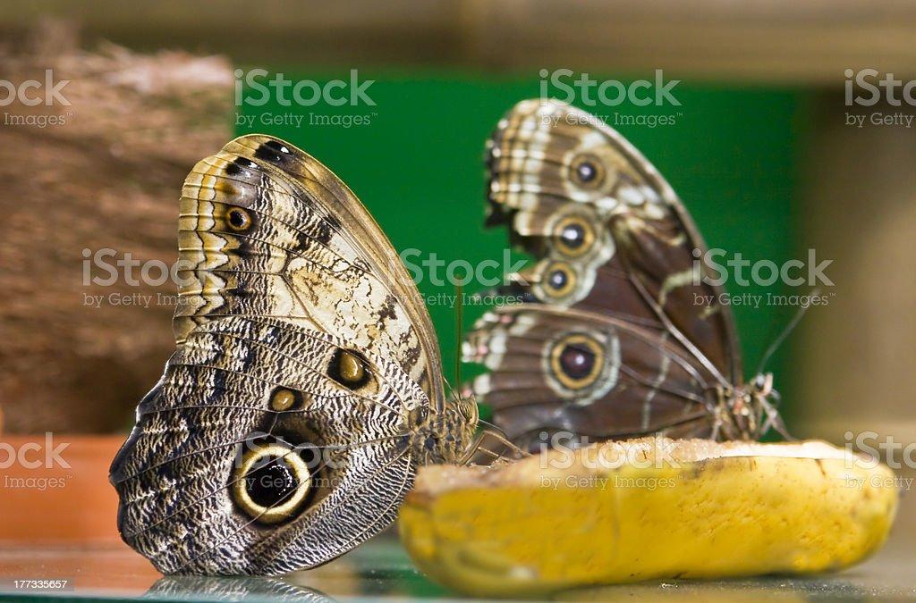 Two butterflies on banana stock photo