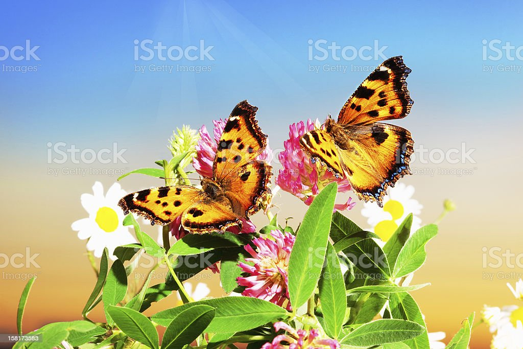 Two butterflies on camomiles royalty-free stock photo