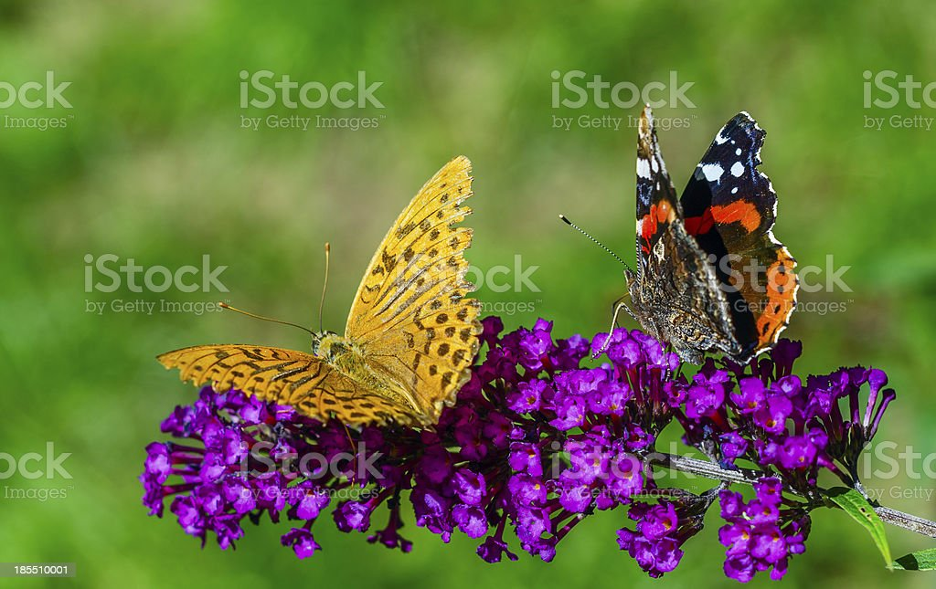 Two butterflies on purple flower royalty-free stock photo
