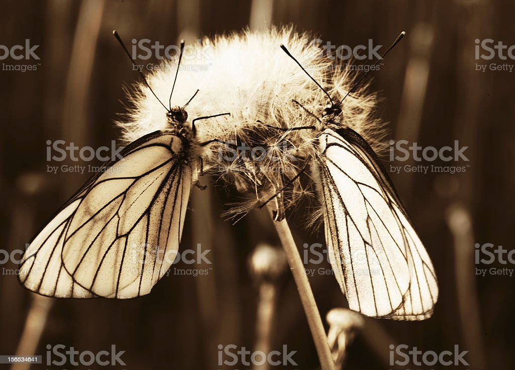 Two butterflies royalty-free stock photo