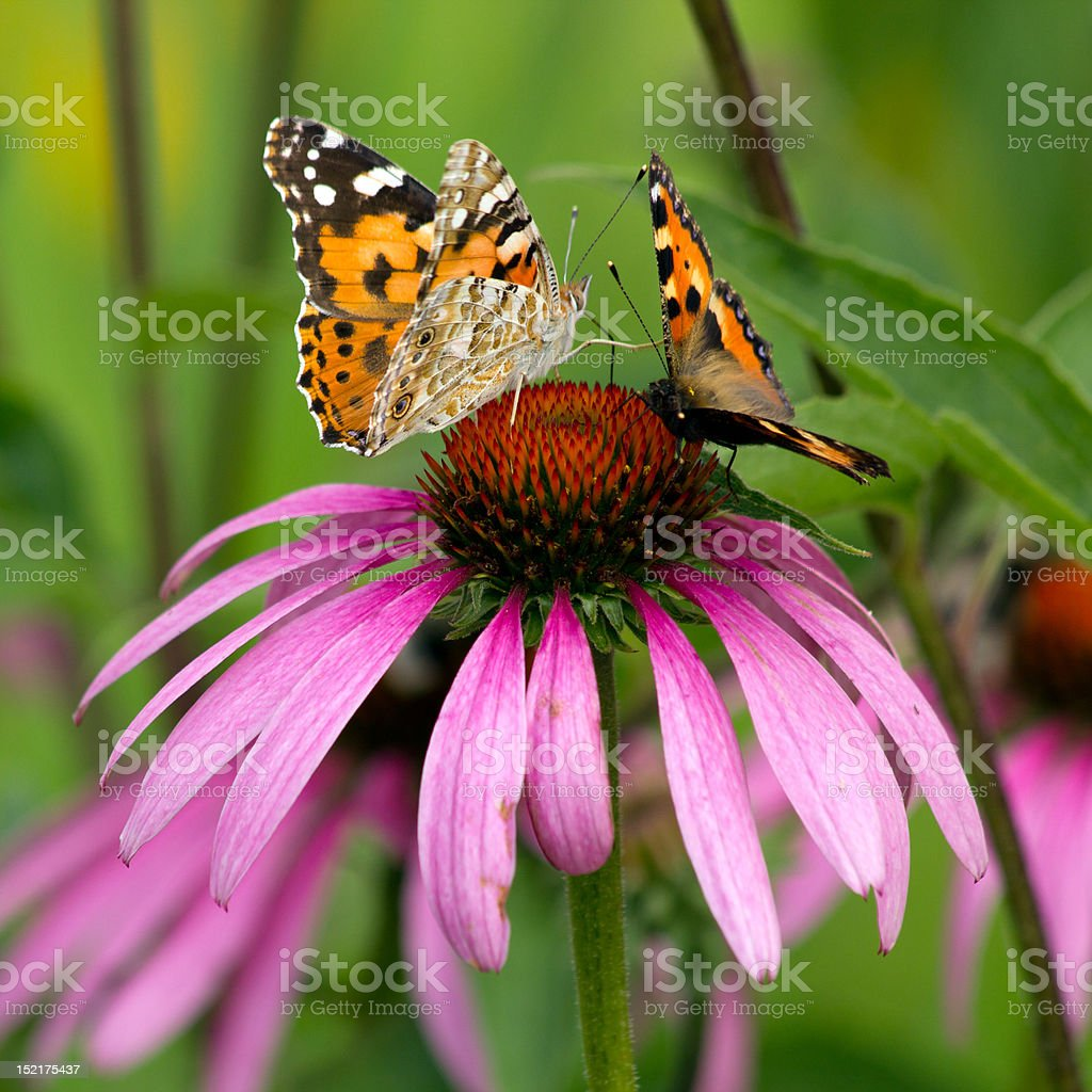 two butterflies sitting on a pink flower stock photo