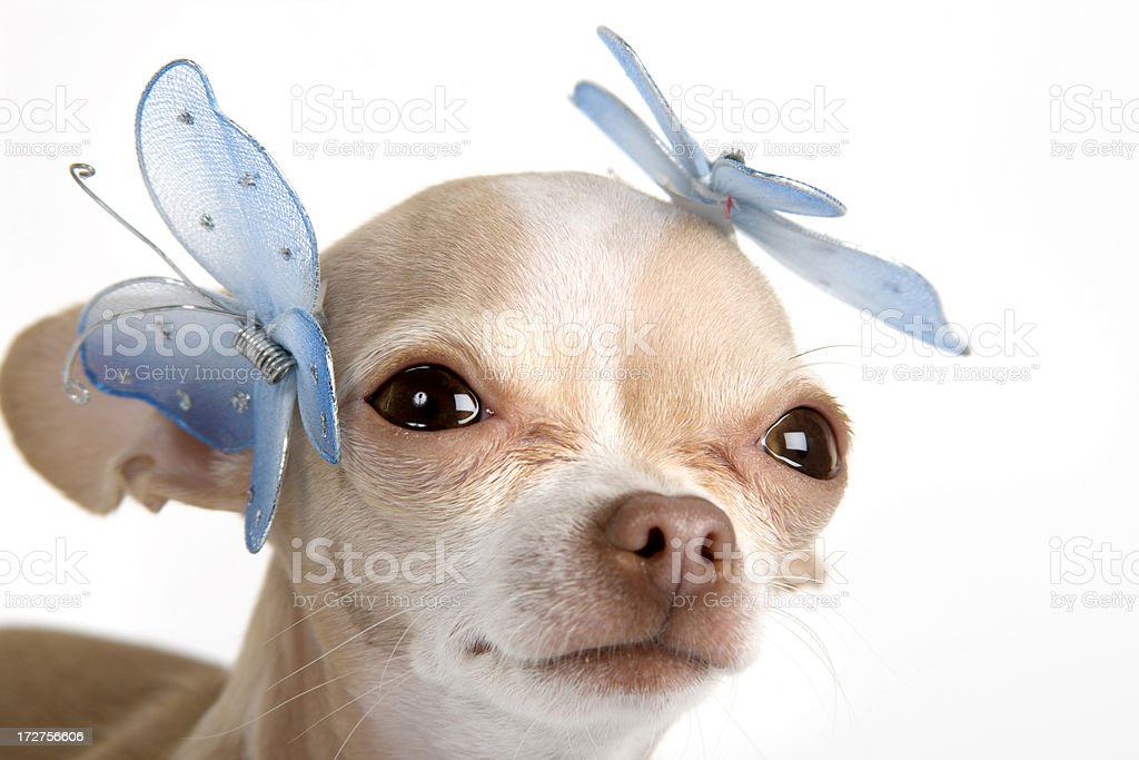 two butterfly and a dog royalty-free stock photo