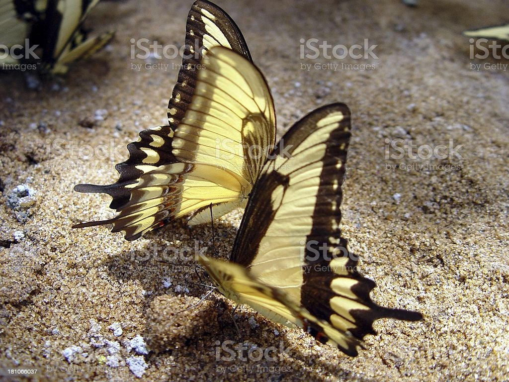 Two Butterflyes royalty-free stock photo