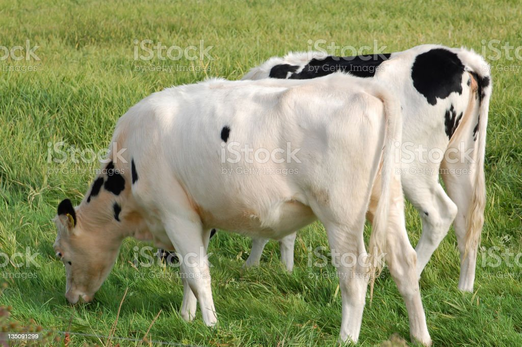 two Calf on a meadow stock photo