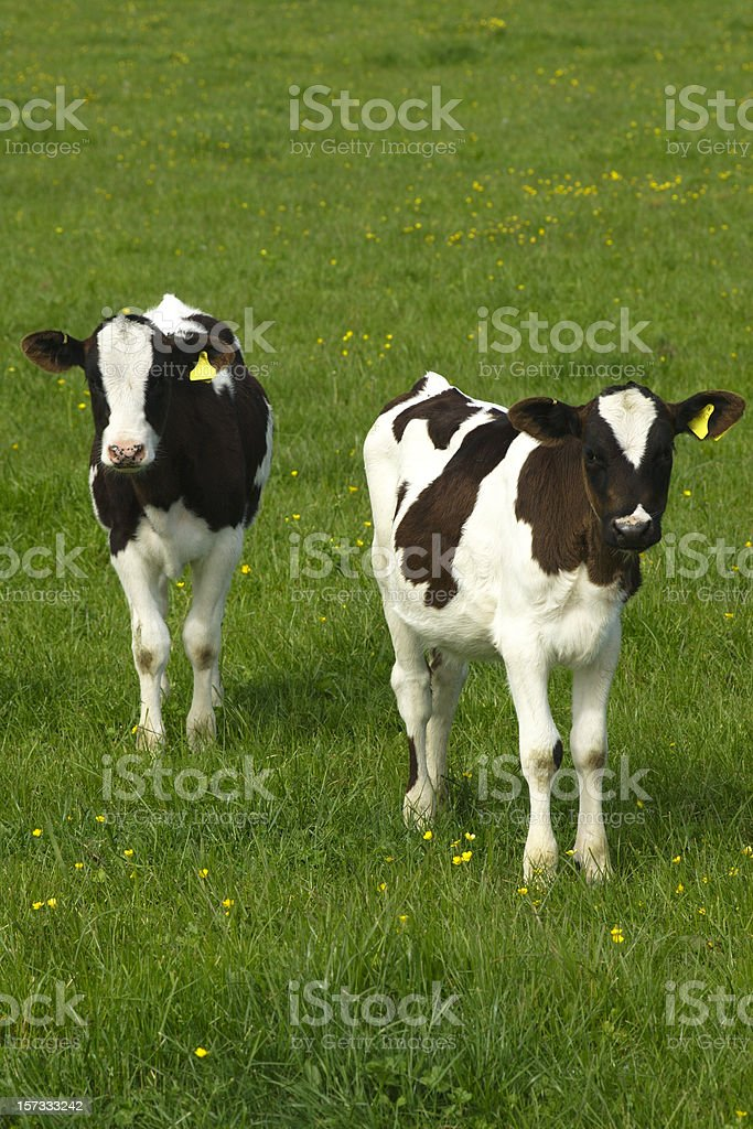 two calves in a green field royalty-free stock photo