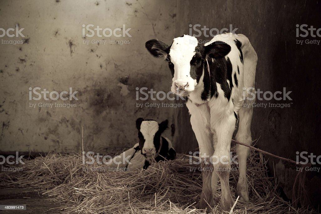 Two calves in an ols stable stock photo